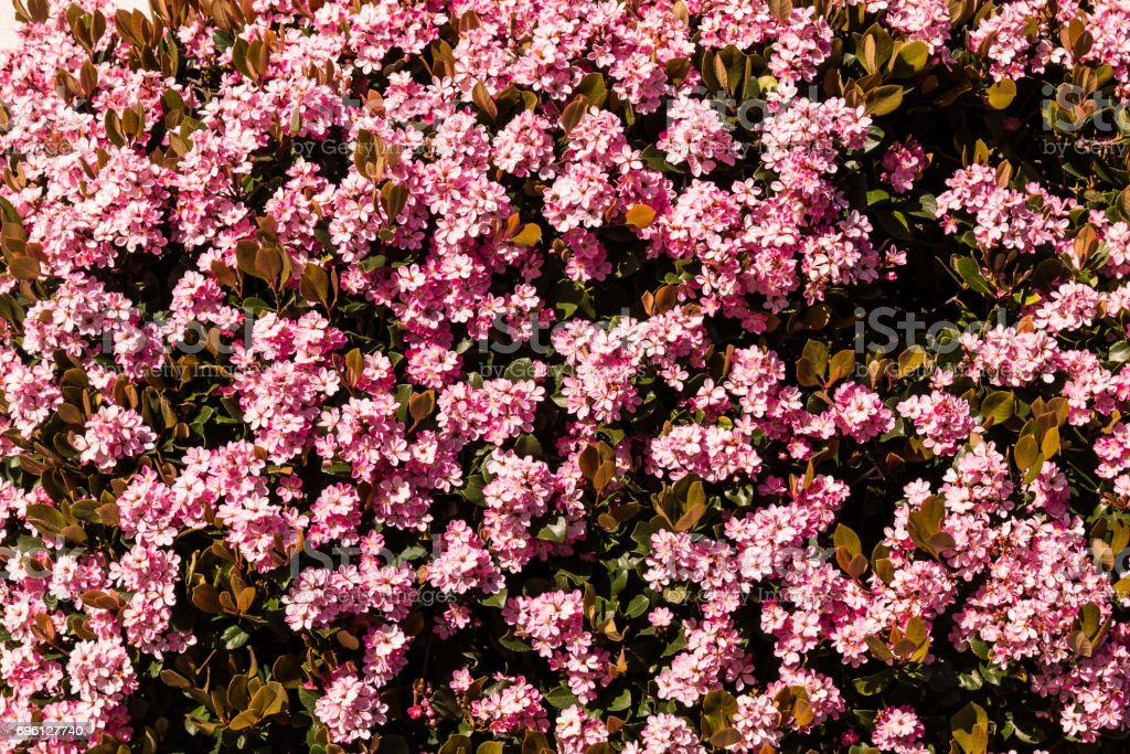 Indian hawthorn evergreen shrub with pink flowers stock photo more indian hawthorn evergreen shrub with pink flowers royalty free stock photo mightylinksfo