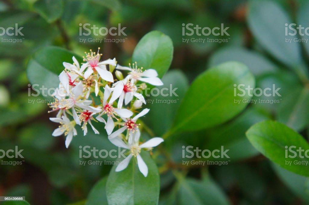 Indienne aubépine ou rhaphiolepsis indica blanc fleurs avec un coeur rouge avec un feuillage vert - Photo de Aliment libre de droits
