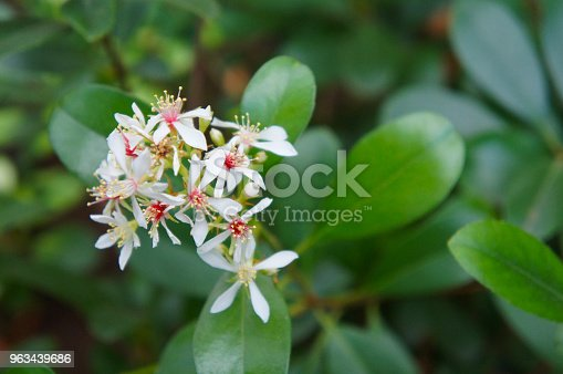 Indian hawthorn or rhaphiolepsis indica white flowers with red core with green foliage