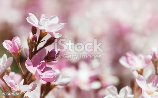 Indian Hawthorn (Rhaphiolepis indica), Pink Lady, flowers blooming in spring time. Shallow depth of field.