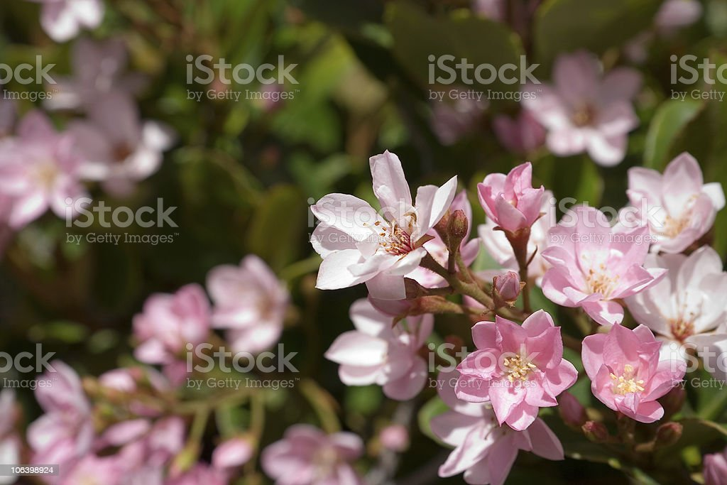 Indian Hawthorne Flowers stock photo