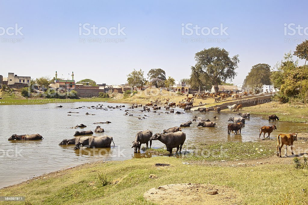Indian herdmsan watering his cattle royalty-free stock photo
