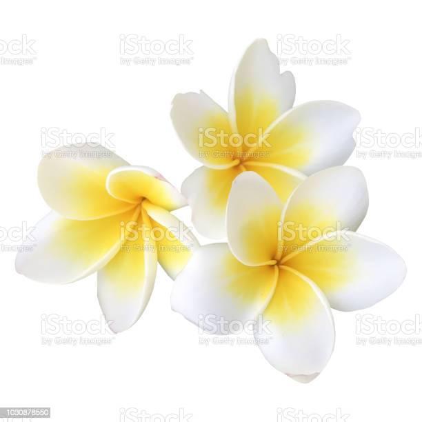Indian jasmin frangipani on white picture id1030878550?b=1&k=6&m=1030878550&s=612x612&h=kb4frp7tlo1wwr w8gzeuroktqy7fuyftvr13waryqw=
