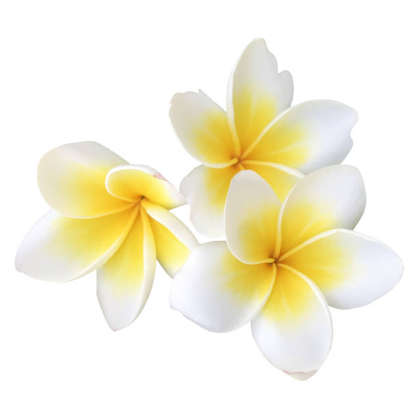 Indian jasmin frangipani on white picture id1030878550?b=1&k=6&m=1030878550&s=612x612&w=0&h=9r4from9kbcbmslp7bnledwd w86m2 rjesygtbo0ra=