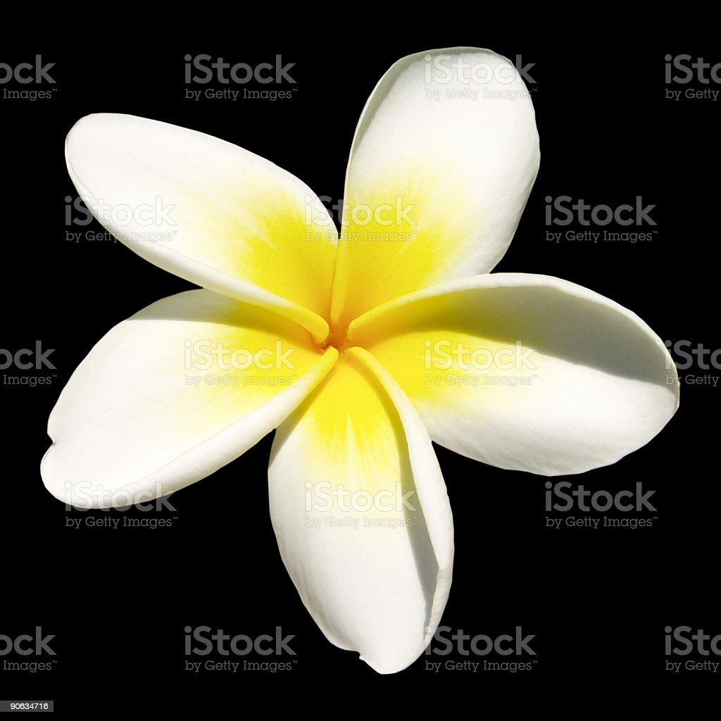 Indian jasmine on black (frangipani) stock photo