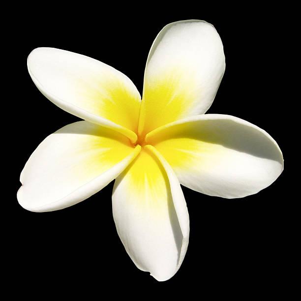 indian jasmine on black (frangipani) - hawaiian flowers stock photos and pictures