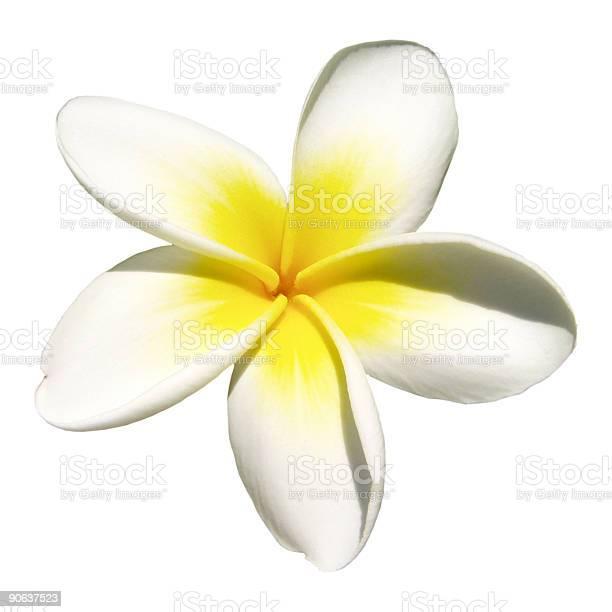 Indian jasmine on white picture id90637523?b=1&k=6&m=90637523&s=612x612&h=8yidaydgg c29 m uyk5z c6r18ckq4hobhv uhgay0=