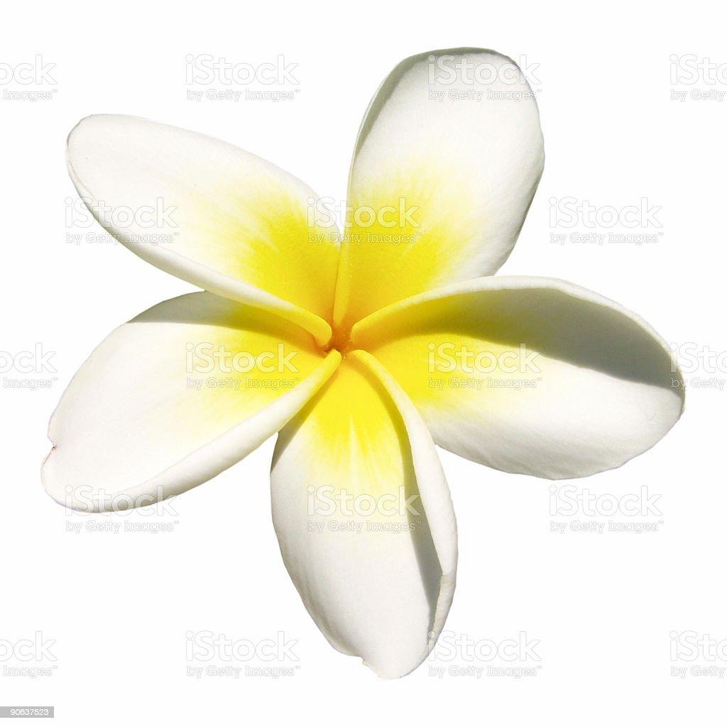 Indian jasmine on white (frangipani) stock photo