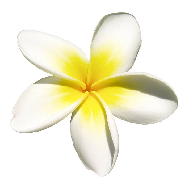 indian jasmine on white (frangipani) - hawaiian flowers stock photos and pictures