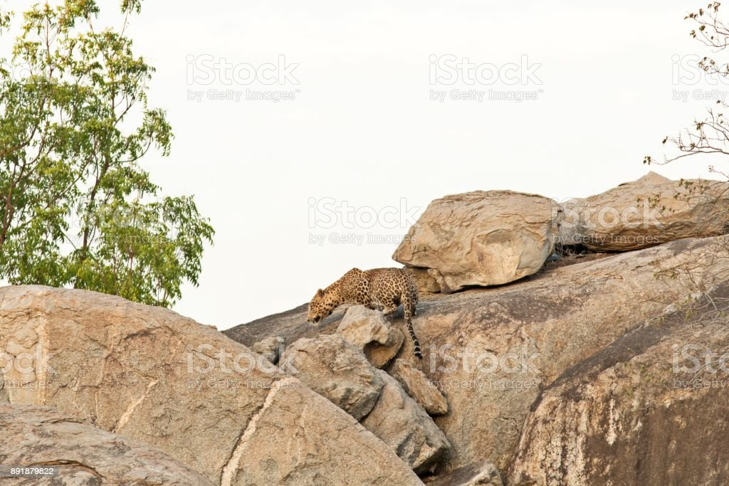 Indian Leopard on showing its agility on huge rocks stock photo