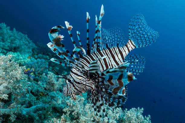 indian lionfish fish hunting stock photo