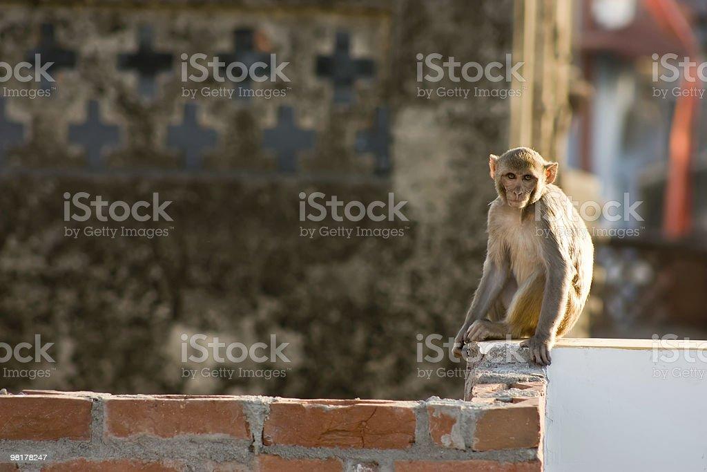 Indian little monkey royalty-free stock photo