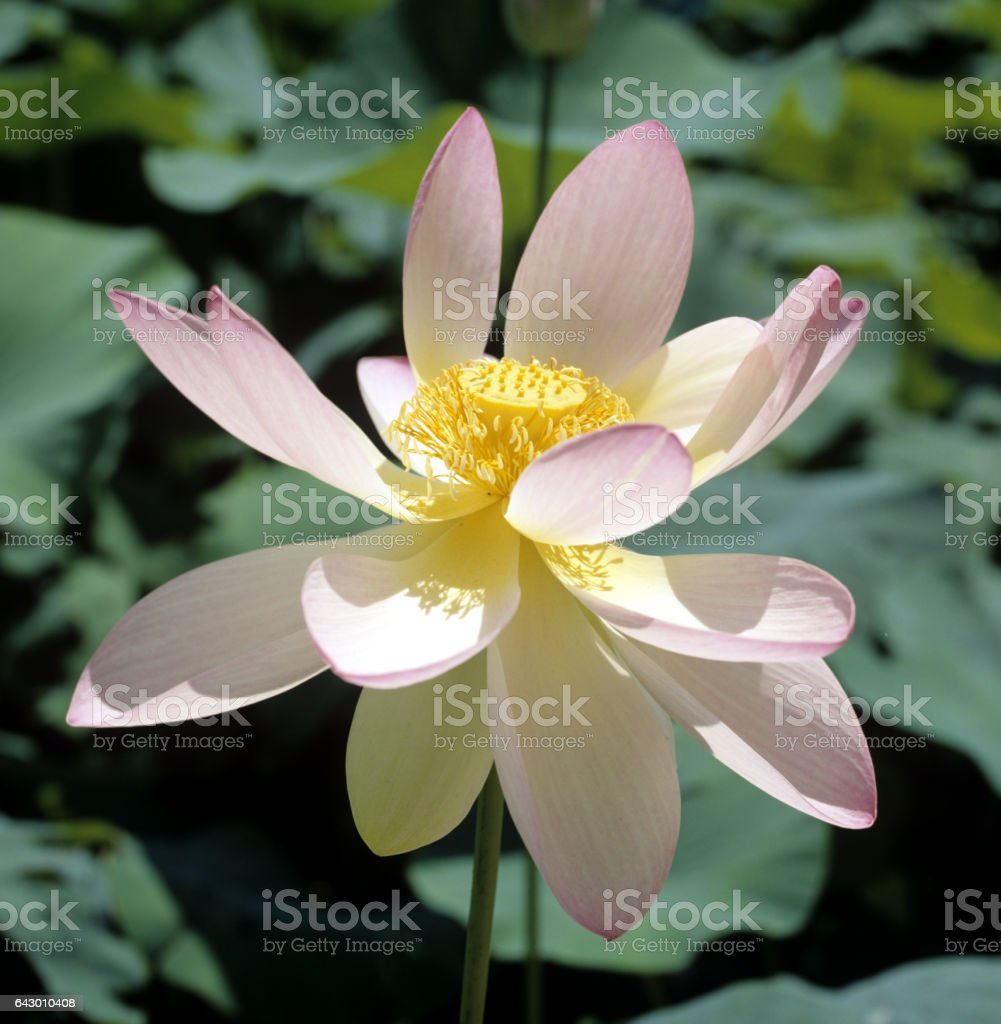 Indian Lotus Nucifera Stock Photo More Pictures Of Flower Istock