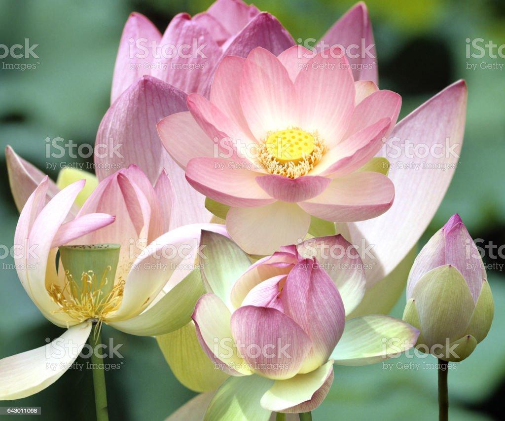 Indian; Lotus nucifera, stock photo
