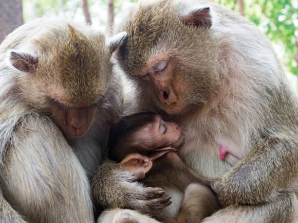 Indischer Macaque (Macaca leonina). Familie indischer Makaken, die auf Baumstämmen im Bereich des Angor Wat Tempels sitzen – Foto