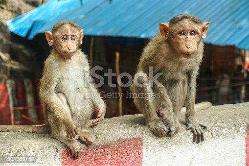 Indian macaque sitting on cement block