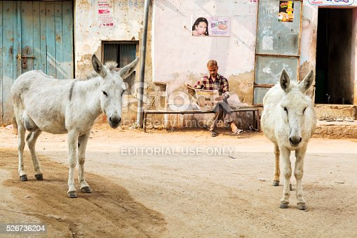 istock Indian man reads newspaper between two donkeys Alsisar, Rajasthan, India 526736204