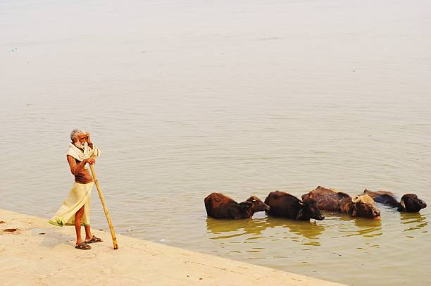 Indian Man Shepherds Water Buffalo In The Ganges stock photo