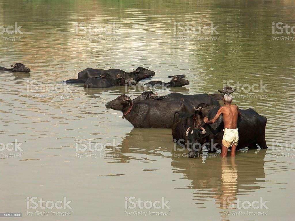Indian man washing buffalos , Rajasthan ,India royalty-free stock photo