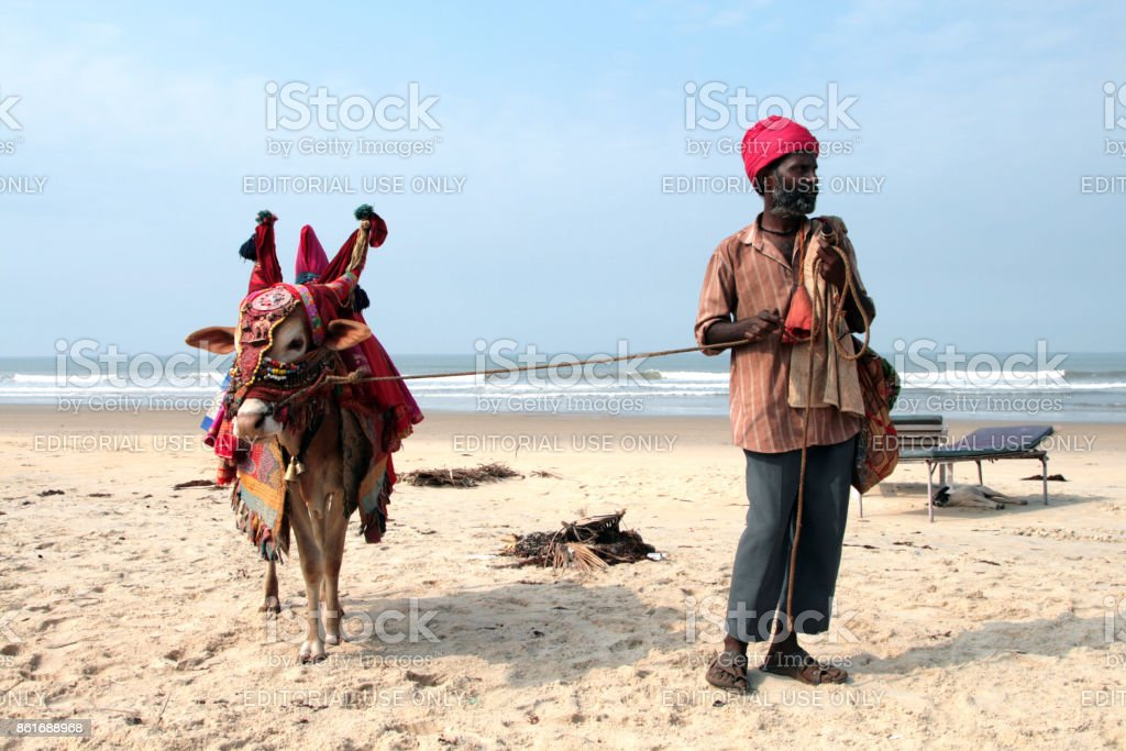 Indian man with holy indian cow decorated with colorful cloth and jewelry on the beach of South Goa stock photo