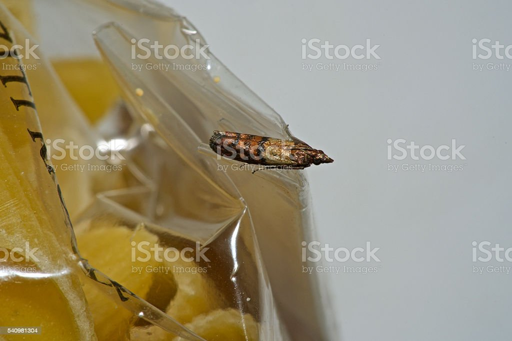 Indian Meal Moth stock photo