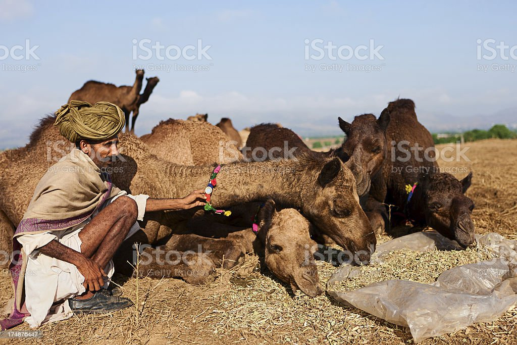 Indian men feeding camels during festival in Pushkar royalty-free stock photo