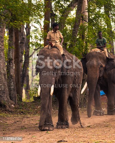 Coorg,Karnataka, India, February 16, 2019. Indian Men Riding On Elephant At Elephant Camp Dubare