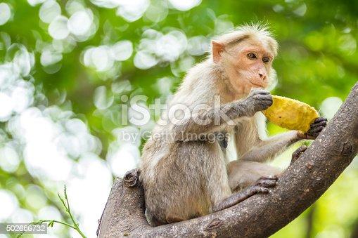 Indian monkey eating mango on tree