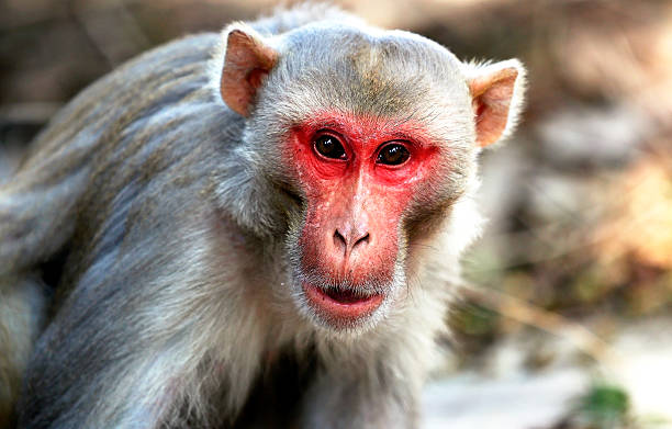 indian monkey - monkey stock photos and pictures