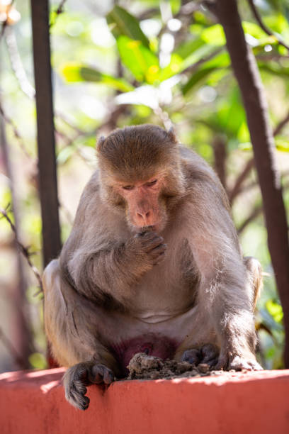 Indischer Affe sitzt am Zaun – Foto