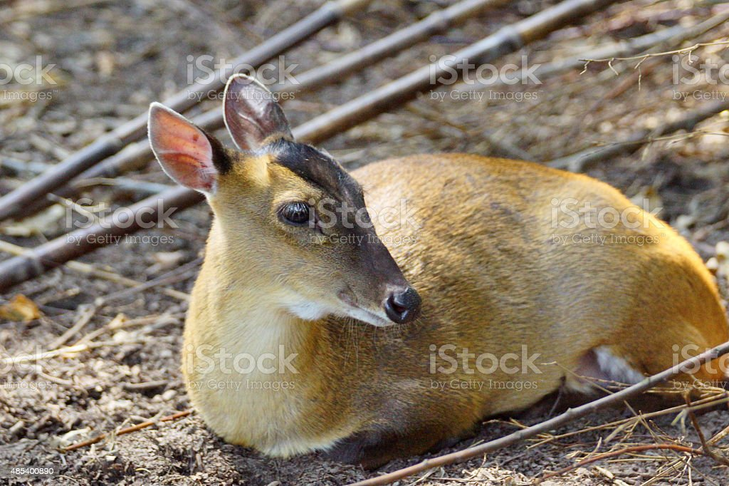 Indian muntjac stock photo