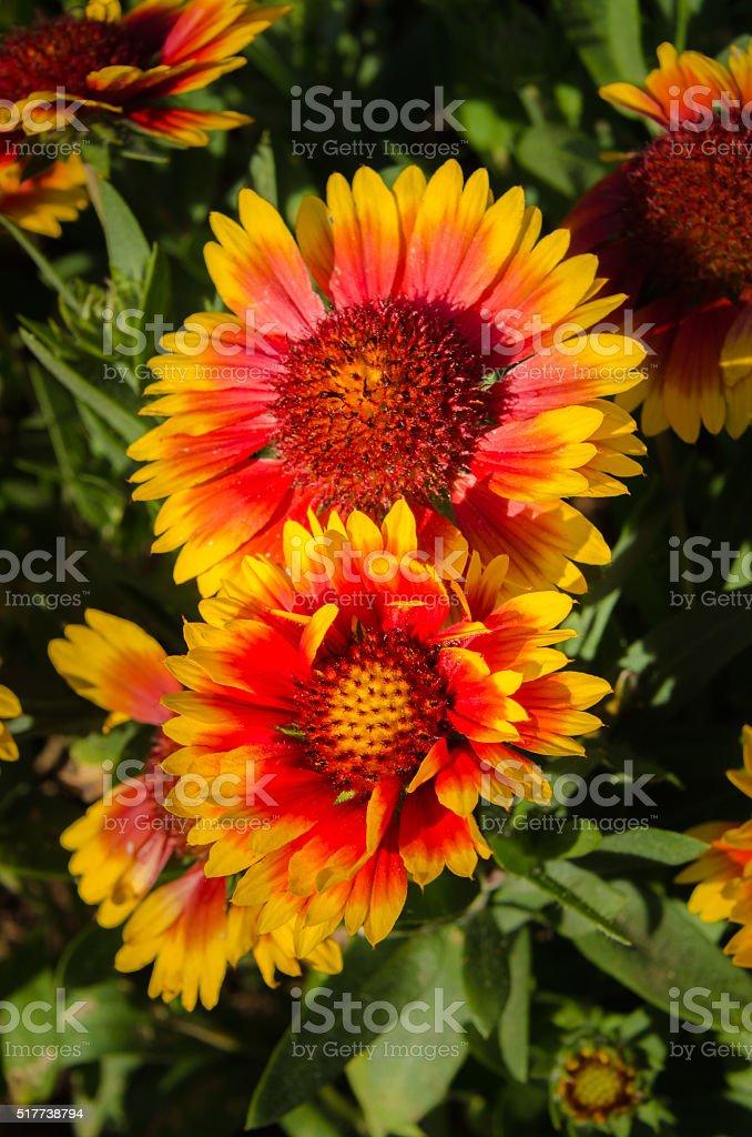 Indian or Goblin Blanket Flowers stock photo