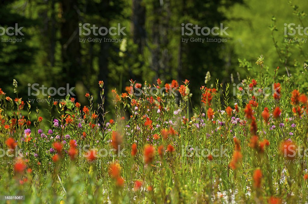 Indian Paintbrush Flowers royalty-free stock photo