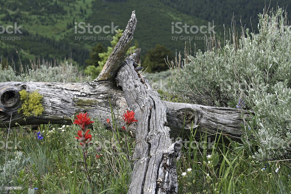 Indian Paintbrush framed with fallen tree trunk stock photo