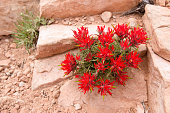 Indian paintbrush red flower (Castilleja scabrida) in Utah desert in May. Flower from Broomrape (Orobanchaceae) family.