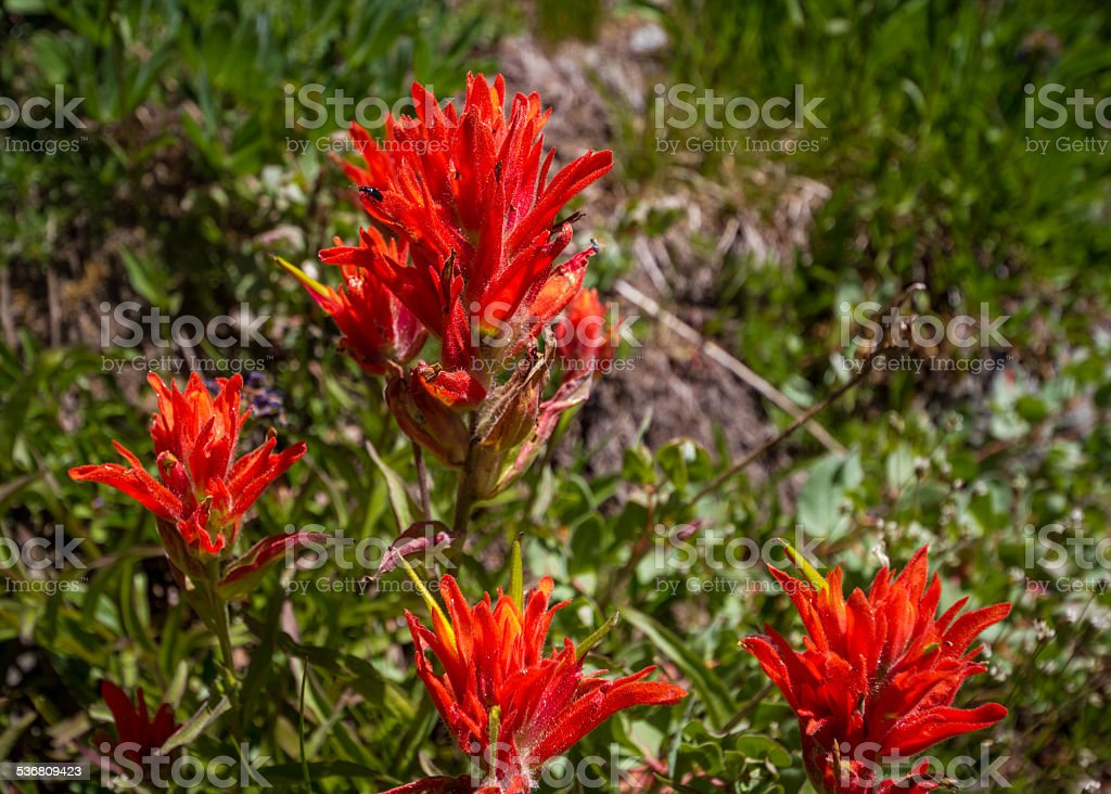 Indian Paintbrushes in a Mountain Meadow stock photo