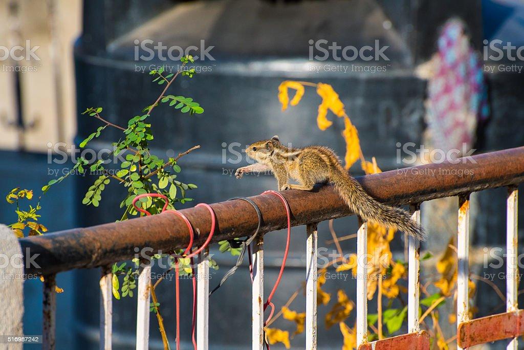 Indian palm squirrel (Funambulus palmarum) on a rail stock photo