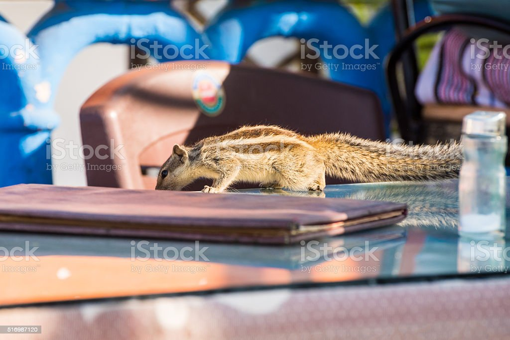 Indian palm squirrel on a table stock photo