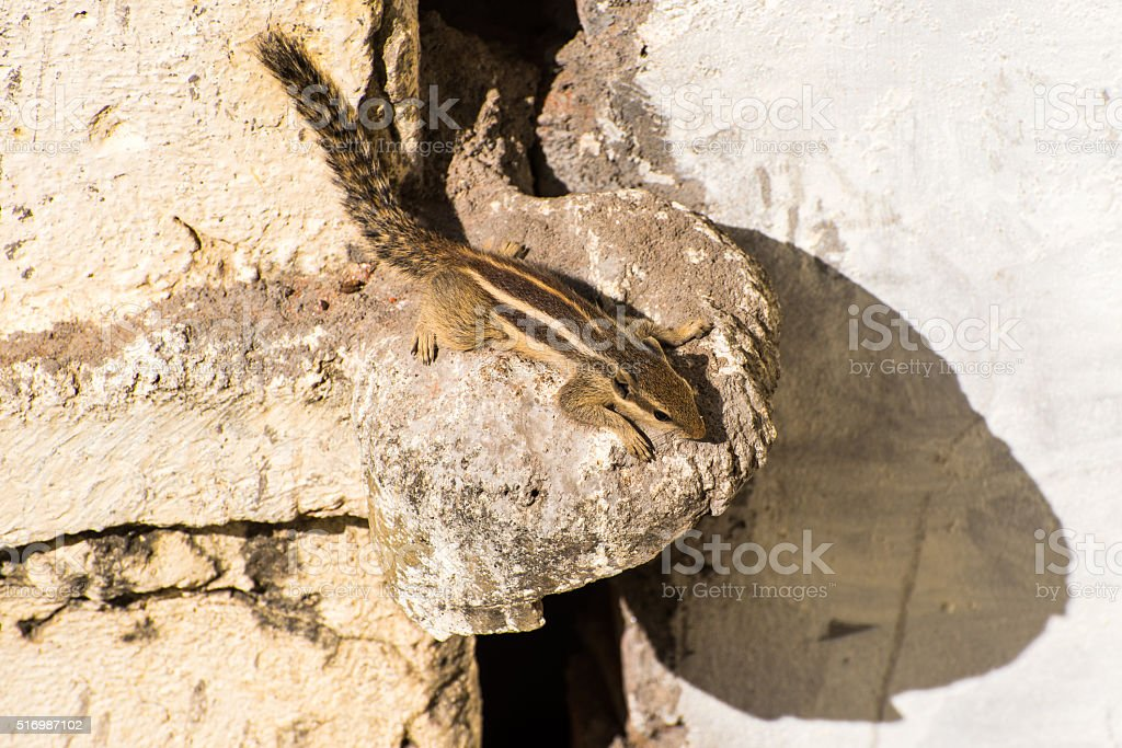 Indian palm squirrel on a wall's protrusion stock photo