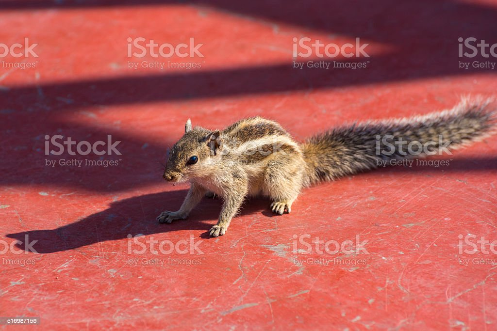 Indian palm squirrel on red floor stock photo