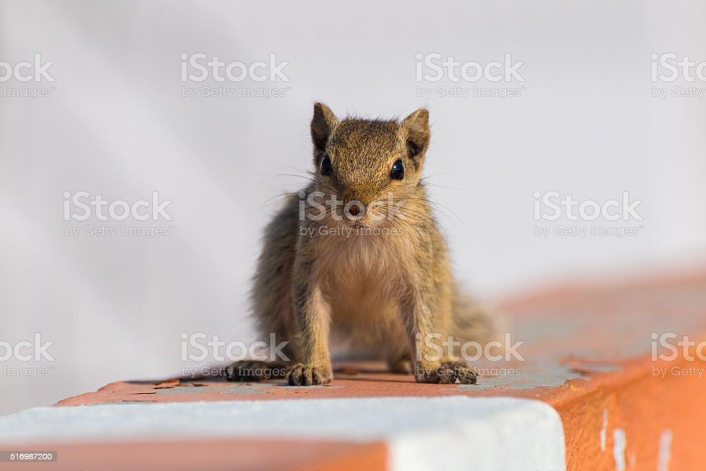 Indian palm squirrel (Funambulus palmarum) stock photo