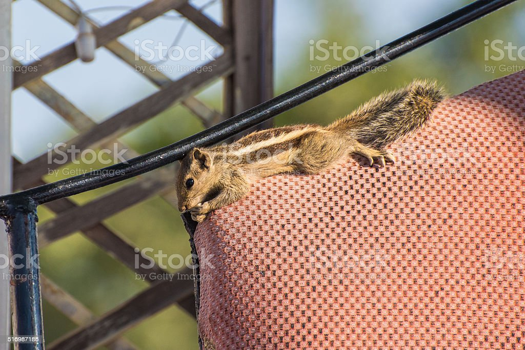 Indian palm squirrel relaxes on the top of armchair's backrest stock photo