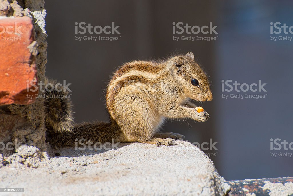 Indian palm squirrel with a nut stock photo