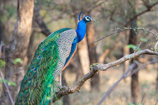 Indian peacock in ranthambhore national park rajasthan india picture id526297482?b=1&k=6&m=526297482&s=612x612&w=0&h=tla qpc0q6vtcknod4dans0z3tf4ae8rwiczjtjuhqo=