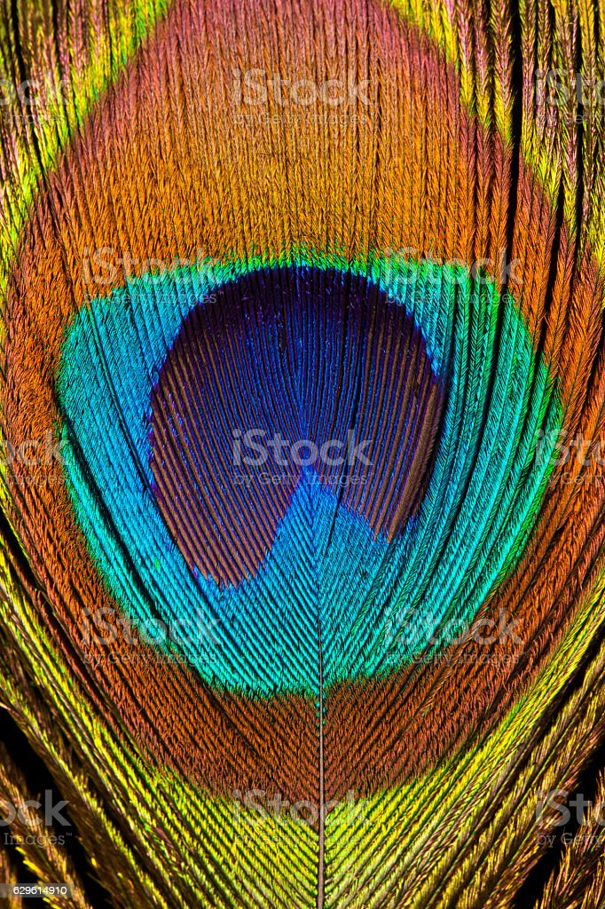 Indian peafowl feather stock photo