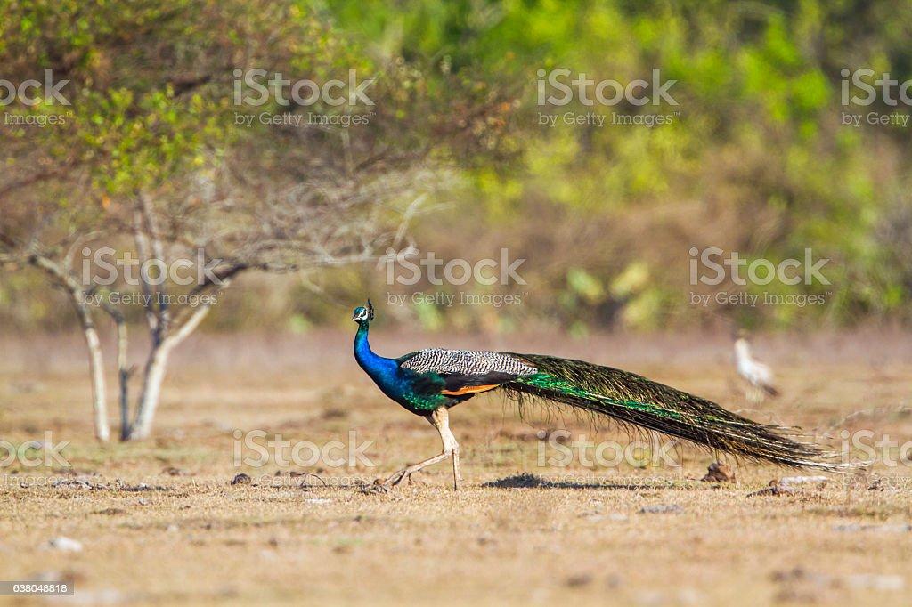 Indian peafowl in Bundala national park, Sri Lanka – Foto