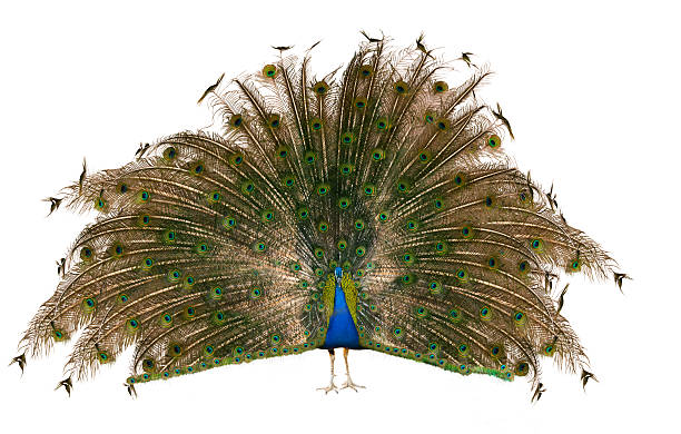 Indian Peafowl Male Indian Peafowl over white peacock feather stock pictures, royalty-free photos & images