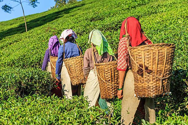 indian musiker-teeplantage in der darjeeling, indien - darjeeling tee stock-fotos und bilder