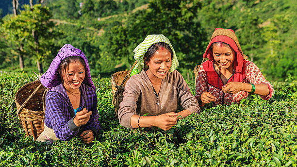 indian musiker plucking teeblätter in der darjeeling, indien - darjeeling tee stock-fotos und bilder