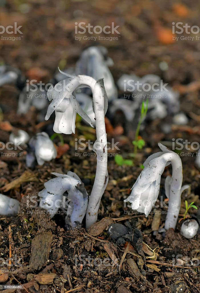Indian Pipe or Ghost flowers stock photo